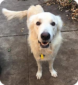 Great Pyrenees Mix Dog for adoption in Huntington Woods, Michigan - Connor