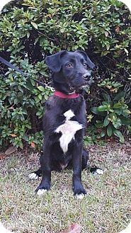 Labrador Retriever/Terrier (Unknown Type, Medium) Mix Dog for adoption in GREENLAWN, New York - Joy