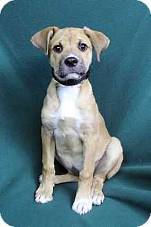 Boxer Mix Dog for adoption in Westminster, Colorado - VICKI