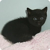 Adopt A Pet :: MR. PEPPER - Glendale, AZ