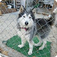 Adopt A Pet :: Diesel - Bristol, VA