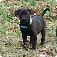 Adopt A Pet :: Storm - greenville, SC