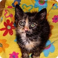 Adopt A Pet :: Cat-Symmetra - Denver, CO