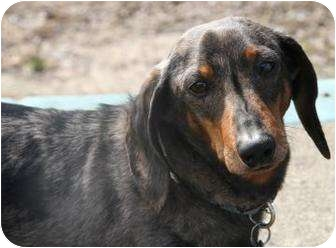 Dachshund Mix Dog for adoption in Toronto, Ontario - Fred