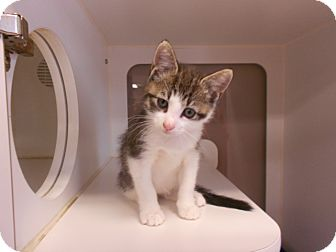 Domestic Shorthair Kitten for adoption in Maywood, New Jersey - Gio