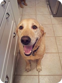 Labrador Retriever Dog for adoption in White River Junction, Vermont - Zach