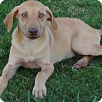 Adopt A Pet :: *Miley - PENDING - Westport, CT