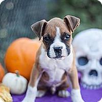 Adopt A Pet :: Apollo - Loomis, CA