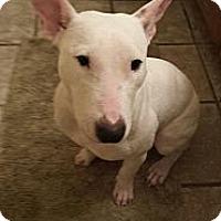 Adopt A Pet :: Scarlett - Sachse, TX