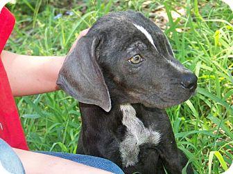 Weimaraner Mix Puppy for adoption in Leming, Texas - Briggs