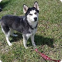 Adopt A Pet :: Sabrina - Clearwater, FL