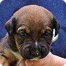 Adopt A Pet :: Sugar's Pup Scout