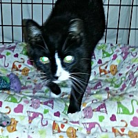 Domestic Shorthair Cat for adoption in Marlboro, New Jersey - Angela