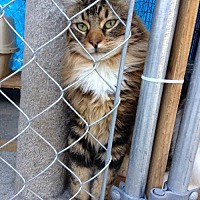 Domestic Longhair Cat for adoption in Santa Clarita, California - Charlie