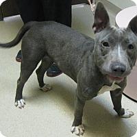 Adopt A Pet :: Ari - Gary, IN