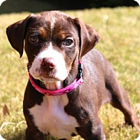 Adopt A Pet :: Hazelnut - Austin, TX