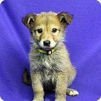Adopt A Pet :: SAMMI - Westminster, CO