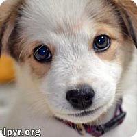 Adopt A Pet :: Peanut in VA - new pup! - Beacon, NY