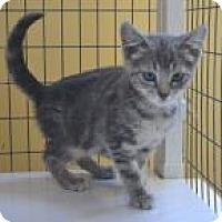 Domestic Shorthair Cat for adoption in Midland, Virginia - Trigger