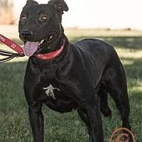 Labrador Retriever Mix Dog for adoption in Westminster, Colorado - Jessie - courtesy listing