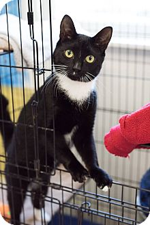 Domestic Shorthair Cat for adoption in Glocester, Rhode Island - Lush