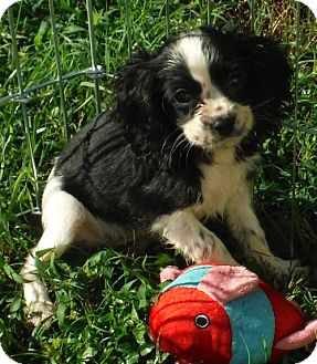 Cocker Spaniel/Cavalier King Charles Spaniel Mix Puppy for adoption in Manchester, New Hampshire - Benji PENDING