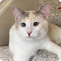 Domestic Shorthair Cat for adoption in san diego, California - Poppy