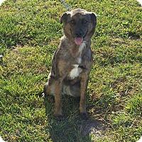 Adopt A Pet :: Cali - Cameron, MO