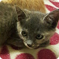 Domestic Shorthair Kitten for adoption in Austin, Texas - Cabo Wabo