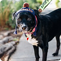 Adopt A Pet :: Rosie - Los Angeles, CA