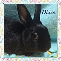 Adopt A Pet :: Disco - Winnipeg, MB