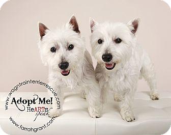 Westie, West Highland White Terrier Dog for adoption in Omaha, Nebraska - Mindy