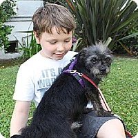 Standard Schnauzer Mix Dog for adoption in Los Angeles, California - Alvin