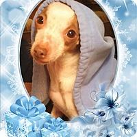 Adopt A Pet :: Josie - DOVER, OH