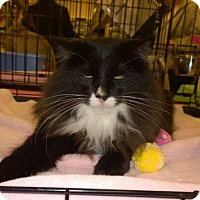 Domestic Mediumhair Cat for adoption in Burlington, Ontario - Robert