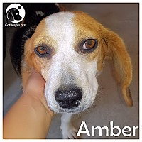 Adopt A Pet :: Amber - Novi, MI