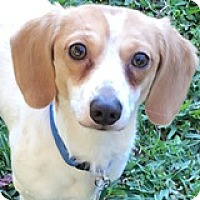 Adopt A Pet :: Tiny Tim - Houston, TX