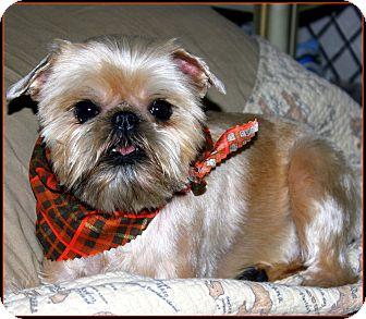 Brussels Griffon/Affenpinscher Mix Dog for adoption in Little Rock, Arkansas - ARKANSAS VOLUNTEERS NEEDED!