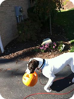Great Dane/Pointer Mix Dog for adoption in Baden, Pennsylvania - Charlie (the other one)