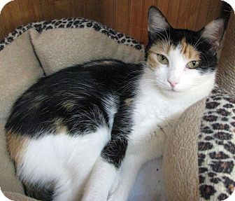Calico Cat for adoption in Albuquerque, New Mexico - Hasani