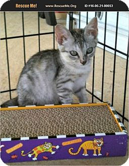 American Shorthair Kitten for adoption in Horseshoe Bay, Texas - Lucy