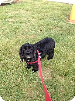 Cocker Spaniel Dog for adoption in Kannapolis, North Carolina - Audi