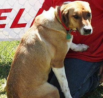 Labrador Retriever Mix Dog for adoption in Grayson, Louisiana - Peanut