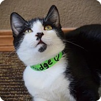 Domestic Shorthair Kitten for adoption in Wichita, Kansas - Smudge