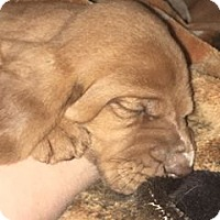 Adopt A Pet :: Lexi - Fayetteville, AR