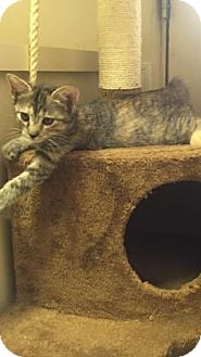 Domestic Shorthair Kitten for adoption in Fountain Hills, Arizona - TOASTIE