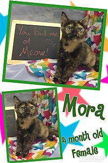 Domestic Shorthair Kitten for adoption in Lexington, North Carolina - MORA