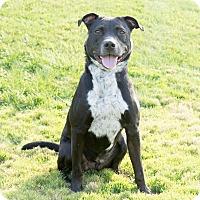 Adopt A Pet :: YoYo - Naperville, IL