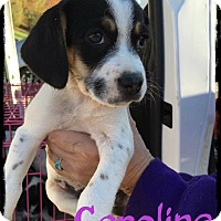 Adopt A Pet :: Caroline - WESTMINSTER, MD