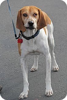 Treeing Walker Coonhound/Hound (Unknown Type) Mix Dog for adoption in Yuba City, California - ***Couresty Post****Dixie